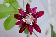 Passion Fruit Prints - Burgundy Passion Fruit Tree Flower Print by Karinna Marvill