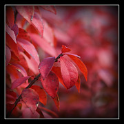 Color Change Framed Prints - Burning Bush Framed Print by Ernie Echols