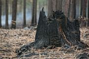 Burnt Tree Trunk Print by Juli Scalzi