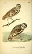 Audubon Drawings Posters - Burrowing Day Owl Poster by John James Audubon
