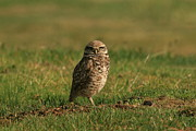 Elka Lange - Burrowing Owl