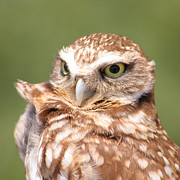 Bob and Jan Shriner - Burrowing Owl in the Wind