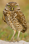 Owl Greeting Card Prints - Burrowing Owl Print by Jerry Fornarotto