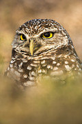Florida Wildlife Posters - Burrowing Owl Portrait Poster by Joseph Rossbach