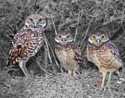 Carol McCutcheon - Burrowing Owls