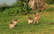 Elka Lange - Burrowing Owls