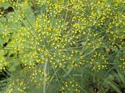 Brenda Brown - Bursting Dill Plant