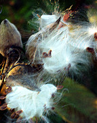 Photography By Govan; Vertical Format Prints - Bursting Milkweed Pods Print by Andrew Govan Dantzler