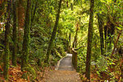 Fresh Green Photos - Bush Pathway Waikato New Zealand by Colin and Linda McKie