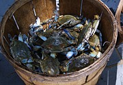 Bushel Basket Framed Prints - Bushel Basket of Blue Crabs Framed Print by Paulette  Thomas