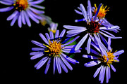 Aster  Framed Prints - Bushy Aster Light and Shadow Framed Print by Thomas R Fletcher