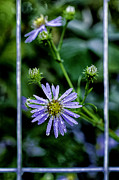 Thomas R Fletcher - Bushy Aster with...