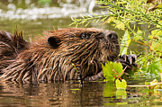 Beaver Framed Prints - Busy as a Beaver Framed Print by Everet Regal