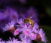 Australian Bee Prints - Busy Australian Bee Collecting Pollen Print by Margaret Saheed