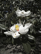Magnolia Grandiflora Prints - Busy Bee in a Magnolia Blossom Print by MM Anderson