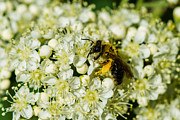 Garden Petal Image Framed Prints - Busy bee on a rowan flowers - Featured 3 Framed Print by Alexander Senin