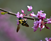 Mkz Prints - Busy Bee on the Bud Print by Mary Zeman