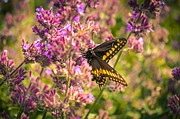 Erickson Framed Prints - Busy Black Swallowtail Framed Print by Shutter Happens Photography