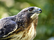 Hawk Metal Prints - Buteo Jamaicensis Metal Print by Christina Rollo