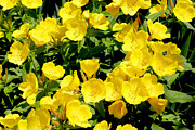 Garden Pyrography Metal Prints - Buttercup Flowers Metal Print by Corey Ford