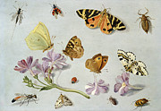 Drawings Art - Butterflies by Jan Van Kessel