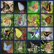 Flying Things Posters - Butterflies Squares Collage Poster by Carol Groenen