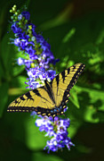 Butterflly Bush And The Swallowtail Print by Sandi OReilly
