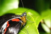 Canon 7d Originals - Butterfly 001 by Kevin Chippindall