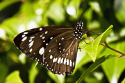 Canon 7d Originals - Butterfly 002 by Kevin Chippindall
