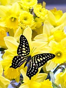 Pink Flora Prints - Butterfly among the daffodils Print by Edward Fielding