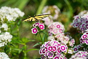 Butterfly And Bloom - Beautiful Spring Flowers And Tiger Swallowtail Butterfly. Print by Jamie Pham