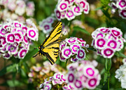 Butterfly And Blooms - Spring Flowers And Tiger Swallowtail Butterfly. Print by Jamie Pham