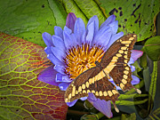 Sympathy Metal Prints - Butterfly and Lily Metal Print by Rudy Umans