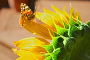 Barbara Dean - Butterfly and Sunflower...