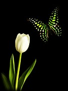 White Tulip Posters - Butterfly and Tulip Poster by Edward Fielding