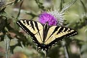 Butterfly Print by Ashley Balkan
