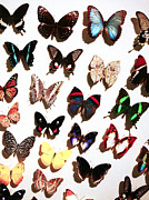 Marilyn Hunt - Butterfly Assortment