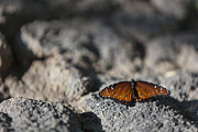 Depth Of Field Photos - Butterfly at Rest 1 by Scott Campbell