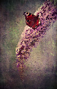 Close Up Floral Mixed Media Framed Prints - Butterfly Bush Framed Print by Svetlana Sewell