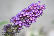 Jo Anne Prints - Butterfly Bush Up Close Print by Jo Anne Neely Gomez