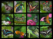 Feeding Photos - Butterfly Collage by Joann Vitali