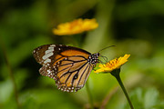 Danaus Genutia Prints - Butterfly - Common Tiger Print by Saurav Pandey