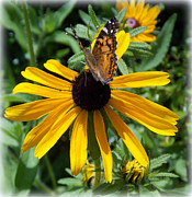 Black-eyed Susan Framed Prints - Butterfly Daisy Framed Print by Sheri McLeroy