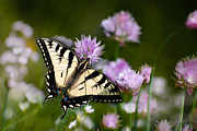 Swallowtail Butterflies Posters - Butterfly Dream Poster by Christina Rollo