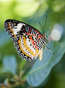 Wings Photos - Butterfly Dreams by Juli Scalzi