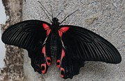 Gail Matthews - Butterfly Dressed in Black and Red