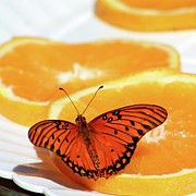 Orange Photos - Butterfly Feast by Art Block Collections