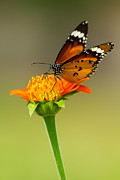 Butterfly Feeding Print by Tosporn Preede