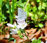 Nature Prints Photos - Butterfly Flower by Candice Trimble