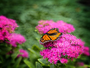 Photogrphy Prints - Butterfly in Bloom Print by Mary Timman